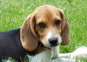 Beagle puppy in grass. Photo by Garrett222/WIkimedia Commons